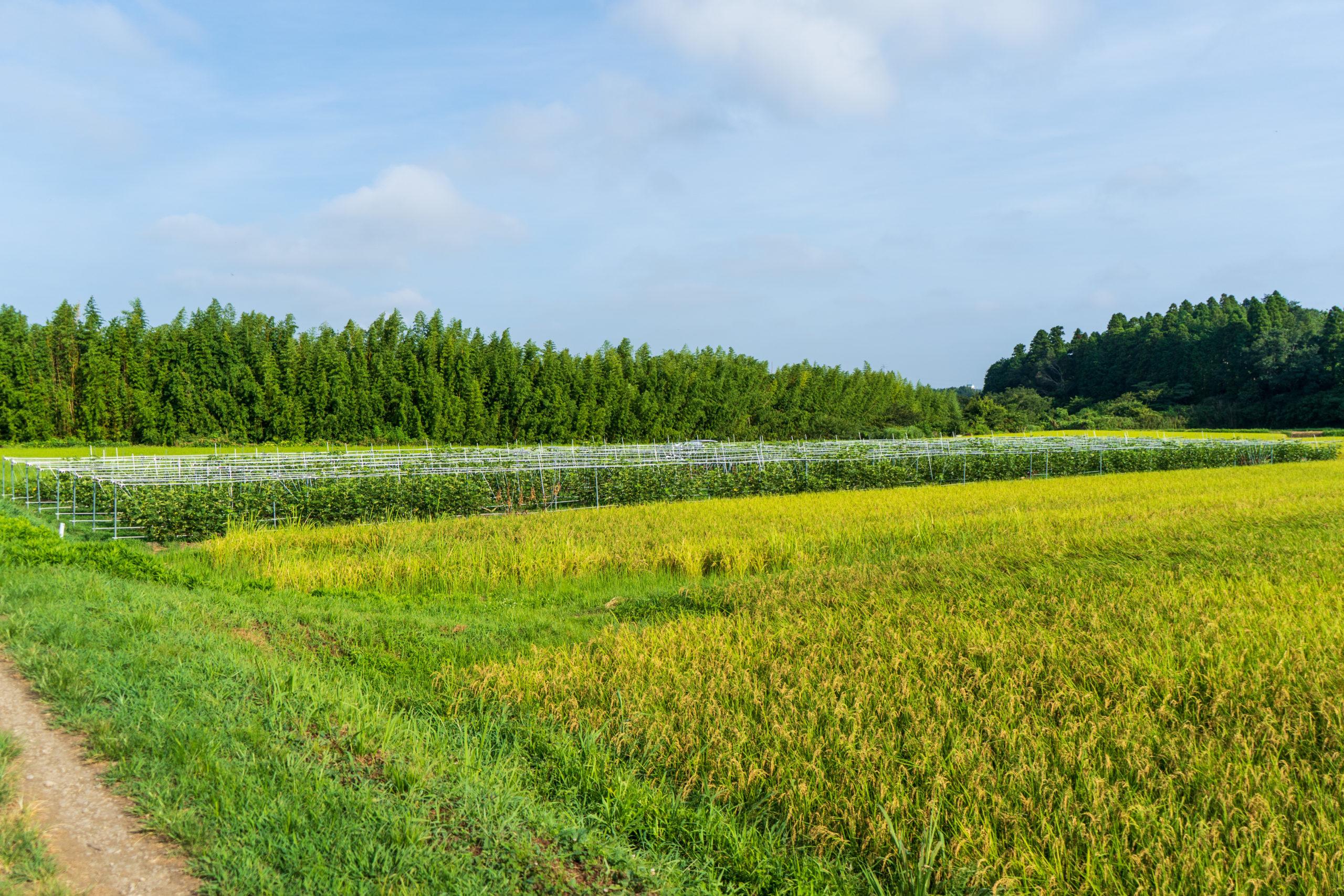 水田に囲まれたいちじく畑
